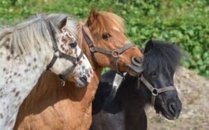 pony-3779312_640